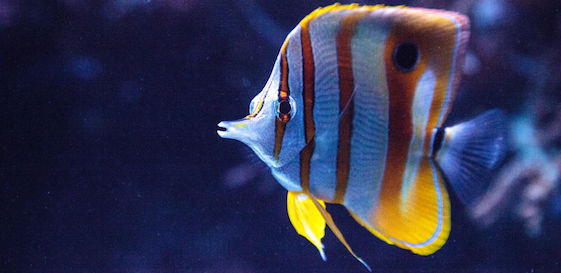 84961152 - copper-banded butterflyfish, chelmon rostratus, picks at the corals on the reef